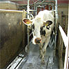 Forsøgscenter – forskning og formidling til gavn for kvægbruget